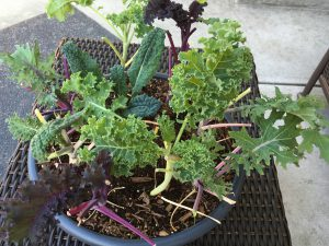 Ceramic bowl with 3 varieties of kale
