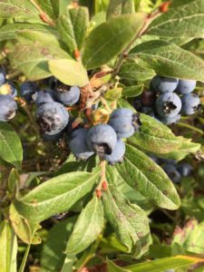 HSN wild blueberry bushes