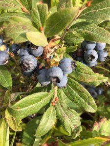 HSN wild blueberry bushes