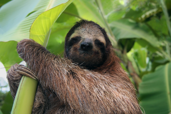 an adorable brown fuzzy tree sloth looking at the camera